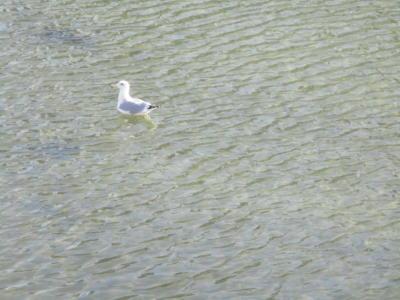 川であそぶ水鳥